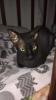 Котята, донского сфинкса